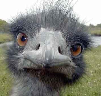 عکس جالب شتر مرغ
